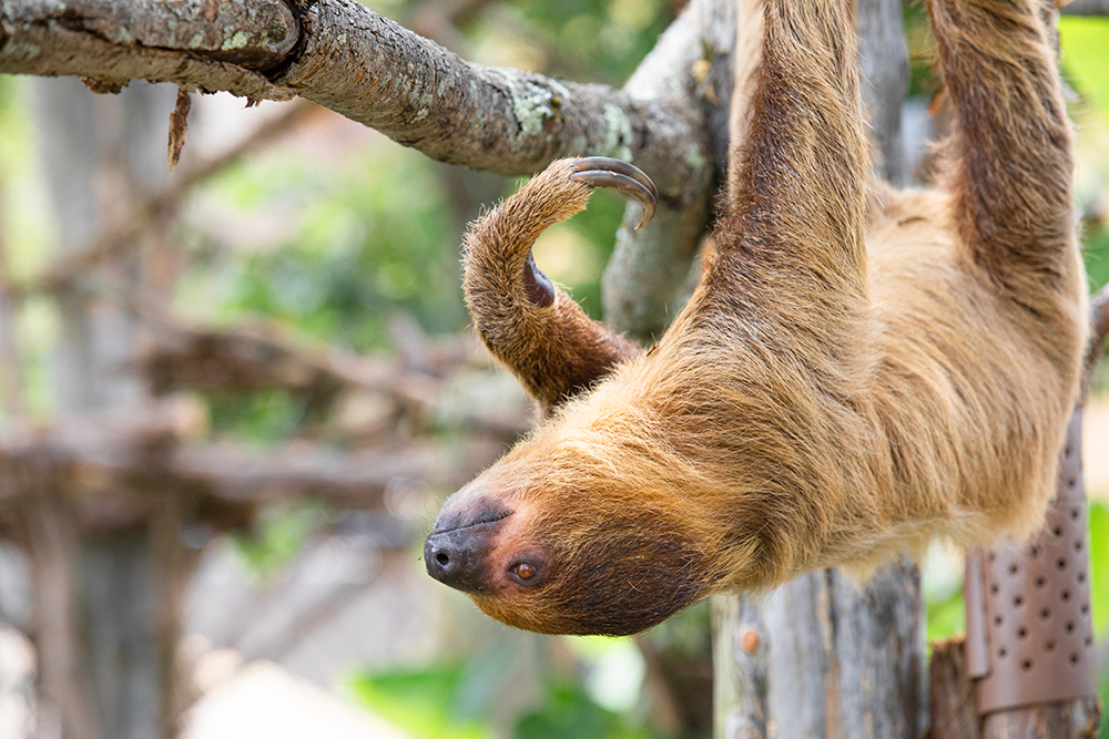 Ararat Ridge Zoo Sloth