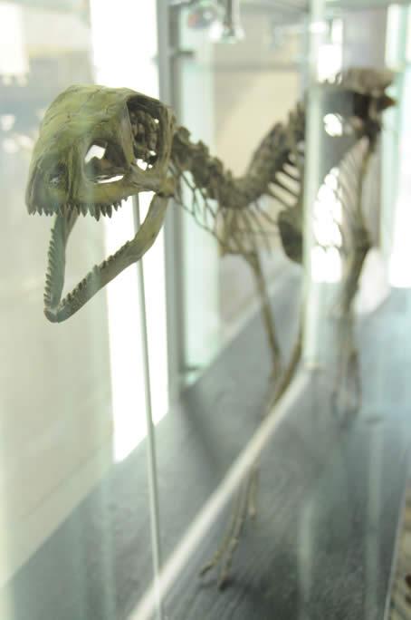 Silesaurus Fossil