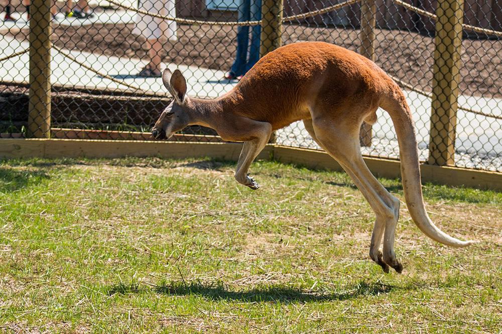 Ararat Ridge Zoo Kangaroo