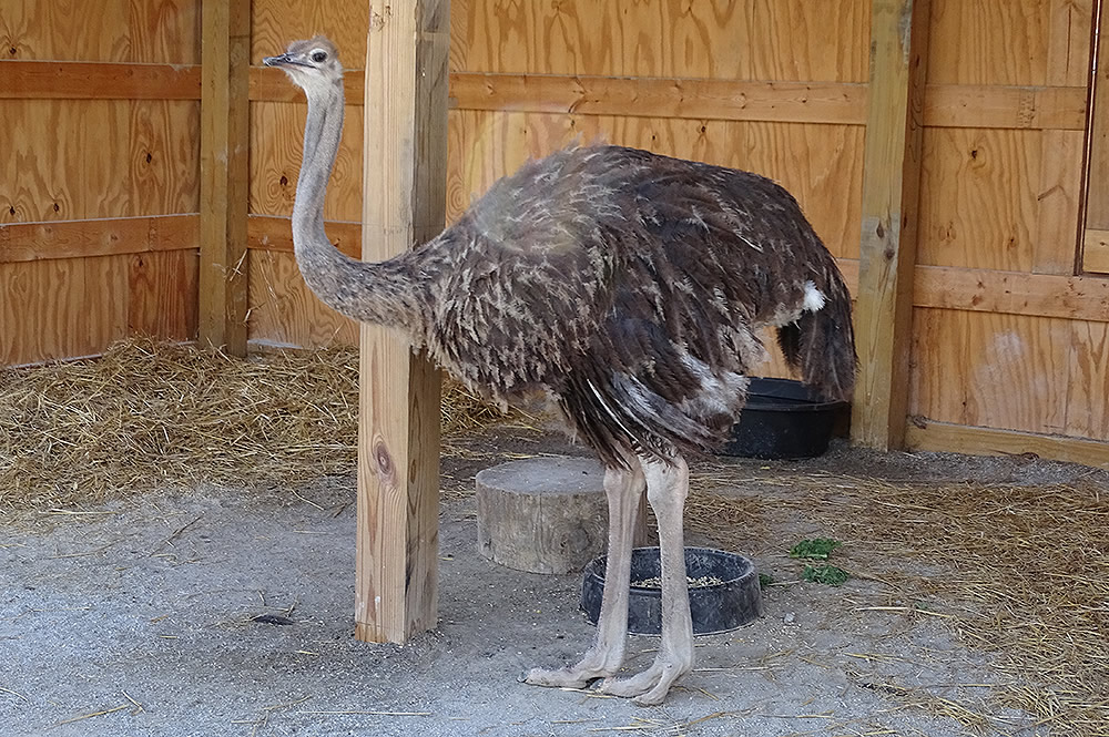 Ostrich Standing and Looking