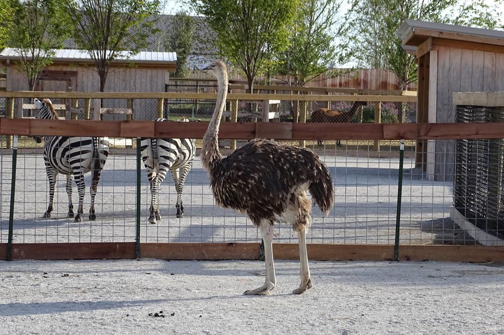 Ostrich with Zebra