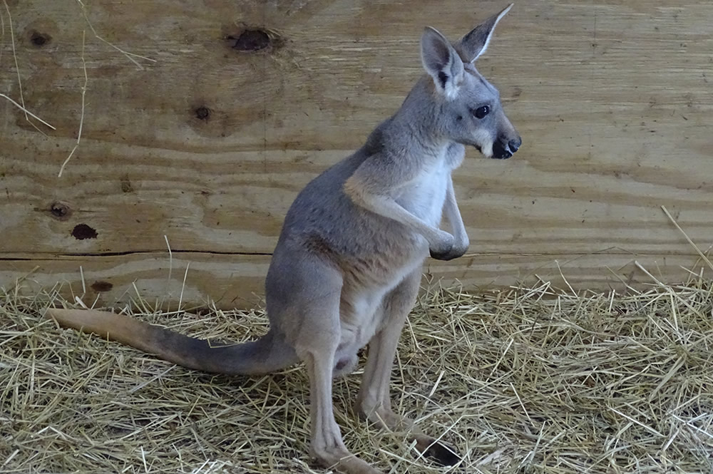 Trinity the Kangaroo