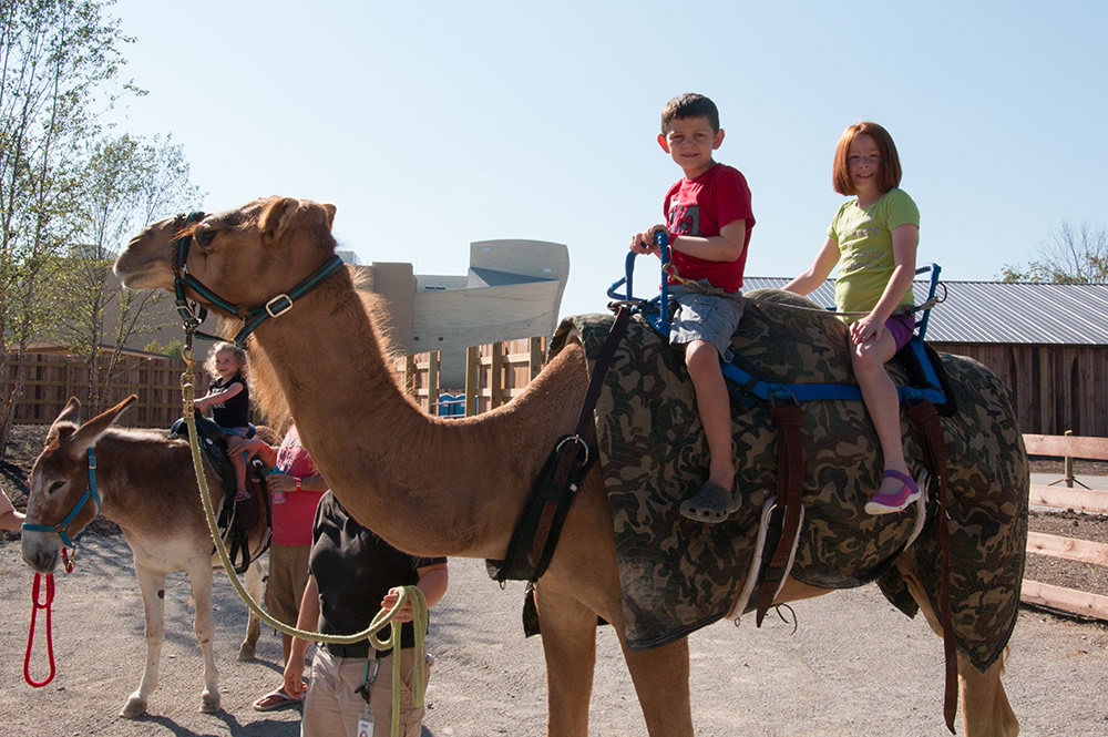 Riding a Camel at the Ark Encounter