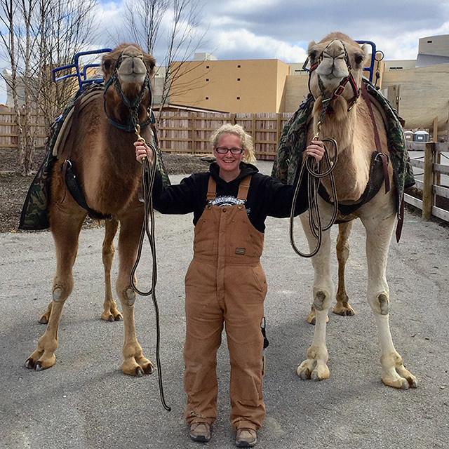 Camels in Ararat Ridge Zoo