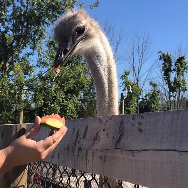 Ostrich in Ararat Ridge Zoo