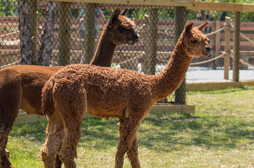 Ararat Ridge Zoo Animals