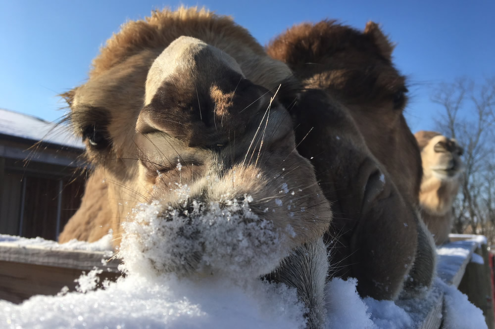 Camels Eating Snow