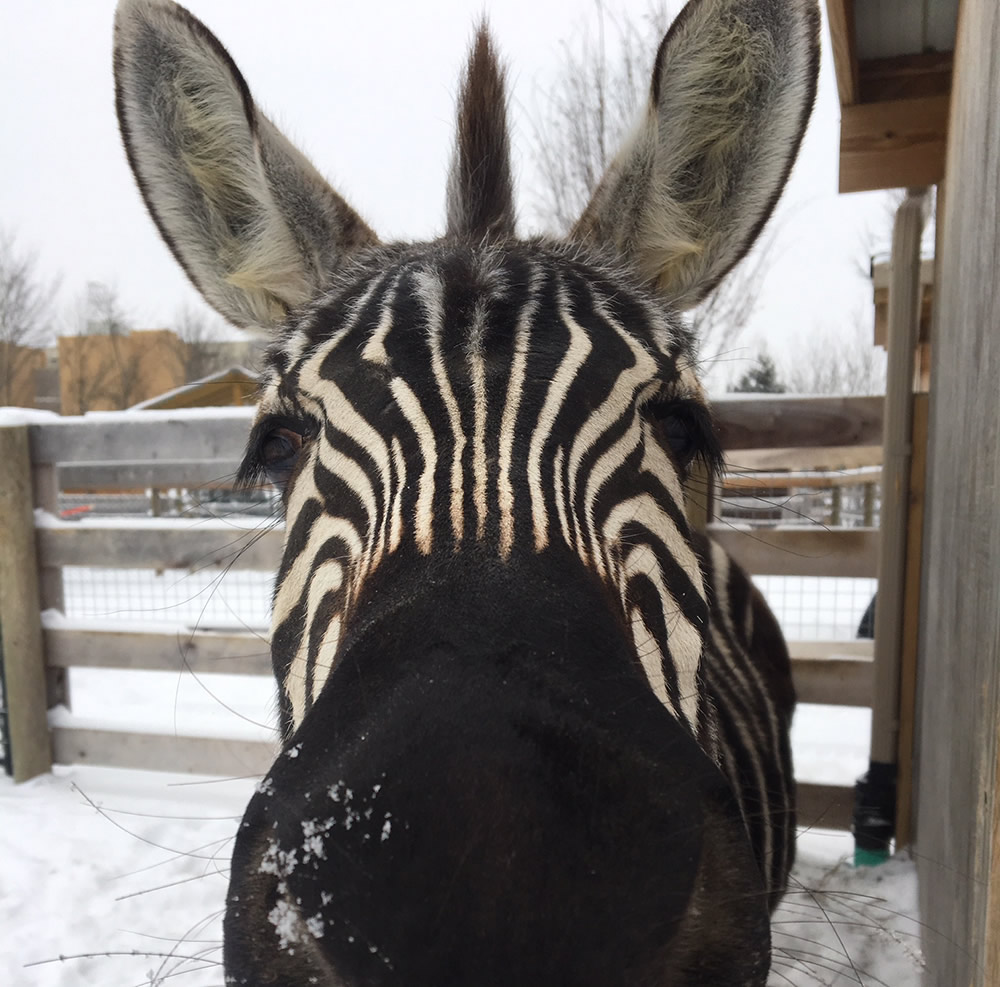 Zebra Playing in Snow