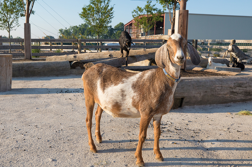 Ararat Ridge Zoo Goats