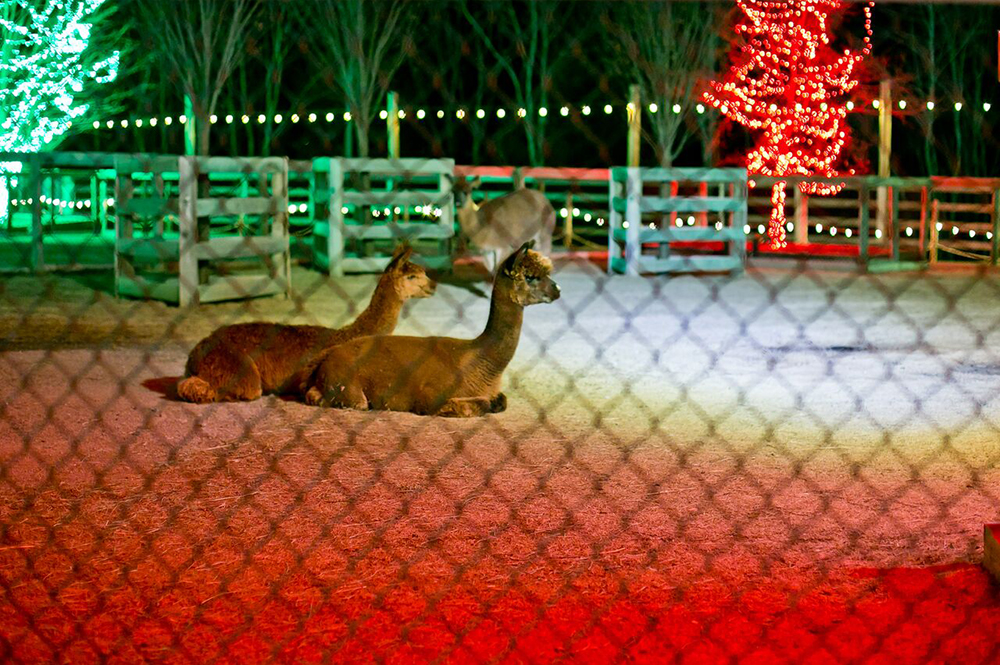 Ararat Ridge Zoo During ChristmasTime