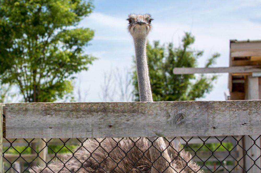 Ararat Ridge Zoo Ostrich