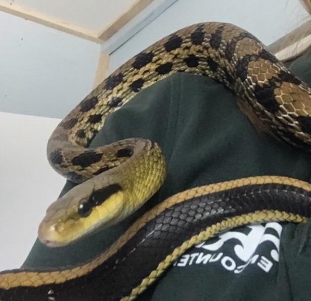 Taiwan Beauty Snake