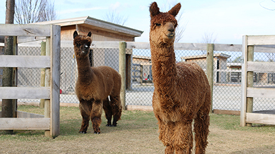 12 Before and After Alpacas, Llamas Photos