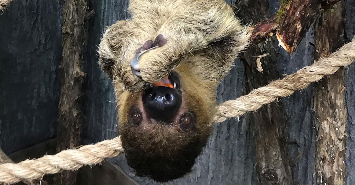 Hang with Sloths at the Ararat Ridge Zoo