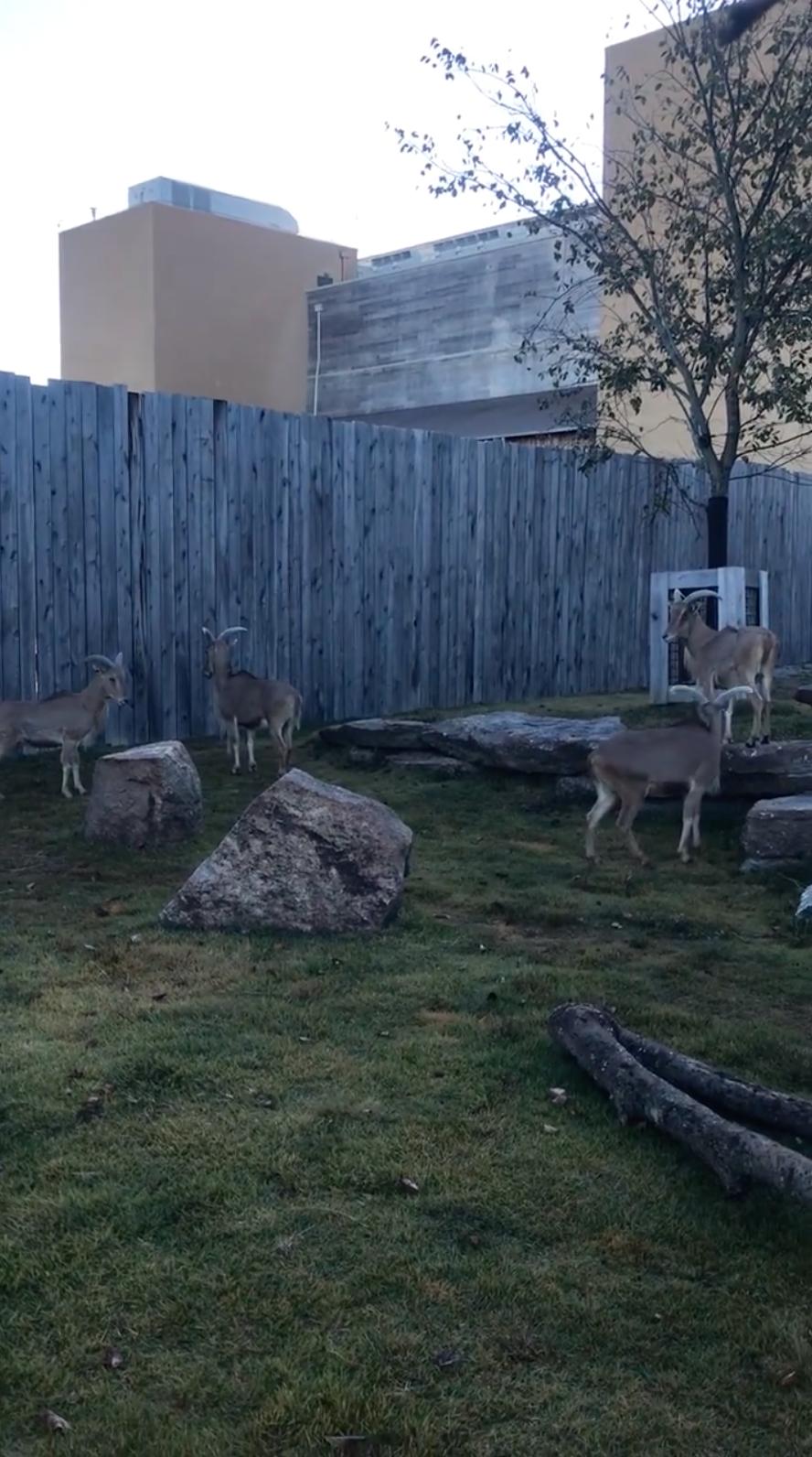 Ararat Ridge Zoo Aoudad Sheep