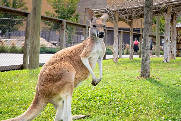Kangaroo Walkabout
