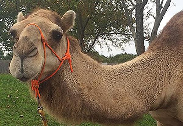 Camel Encounters