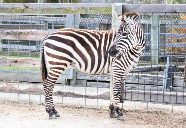 Grant's Zebra/Zebroid